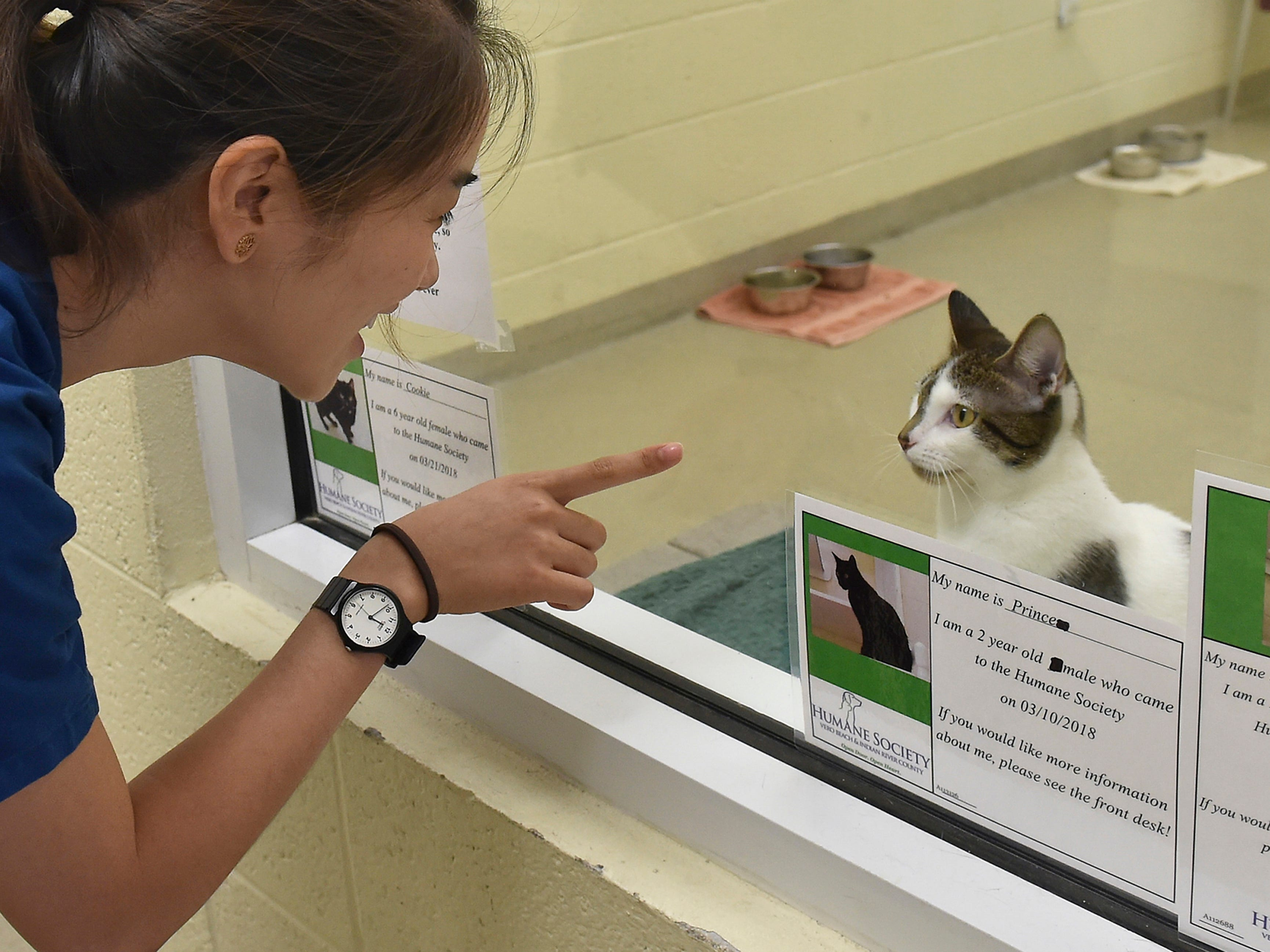 """Veterinarian Cheryl Tan, of Malaysia interacts with Scarlett, an 8-month-old kitten up for adoption inside cat room 2 on Wednesday, May 9, 2018, at the Humane Society of Vero Beach and Indian River County. """"It's a very good experience, probably once in a lifetime for me,"""" Tan said about her week-long internship at the humane society."""