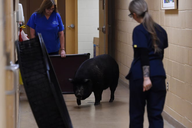 """Veterinary technicians Amy Agnelli (left) and Jamie Tornatore guide Tulip, a 300-pound pig, through the hallway of the Humane Society of the Treasure Coast on Thursday, Dec. 6, 2018, in Palm City. Tulip came to the humane society in April and the staff has been trying to get her adopted as best they can. """"A 300-pound pig is going to have to go to someone who knows what they're doing,"""" said Tornatore. """"(Tulip) needs to be outside and have some space. She can't go to a first-time pig owner."""""""
