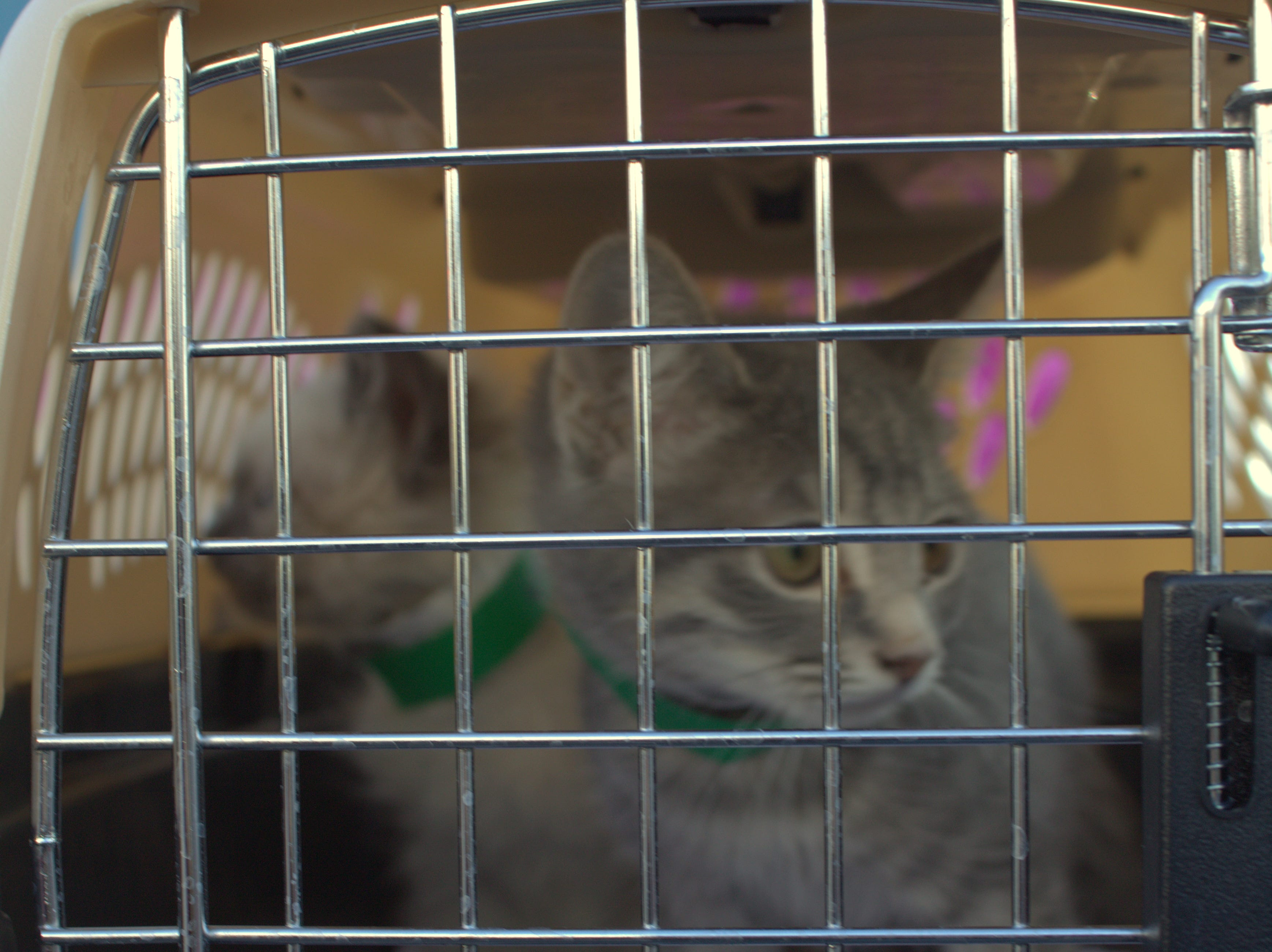 These kittens will be available for adoption at the Brandywine Valley SPCA's Mega Adoption Event at the Delaware State Fairgrounds in Harrington on Dec. 8 and 9, 2018.