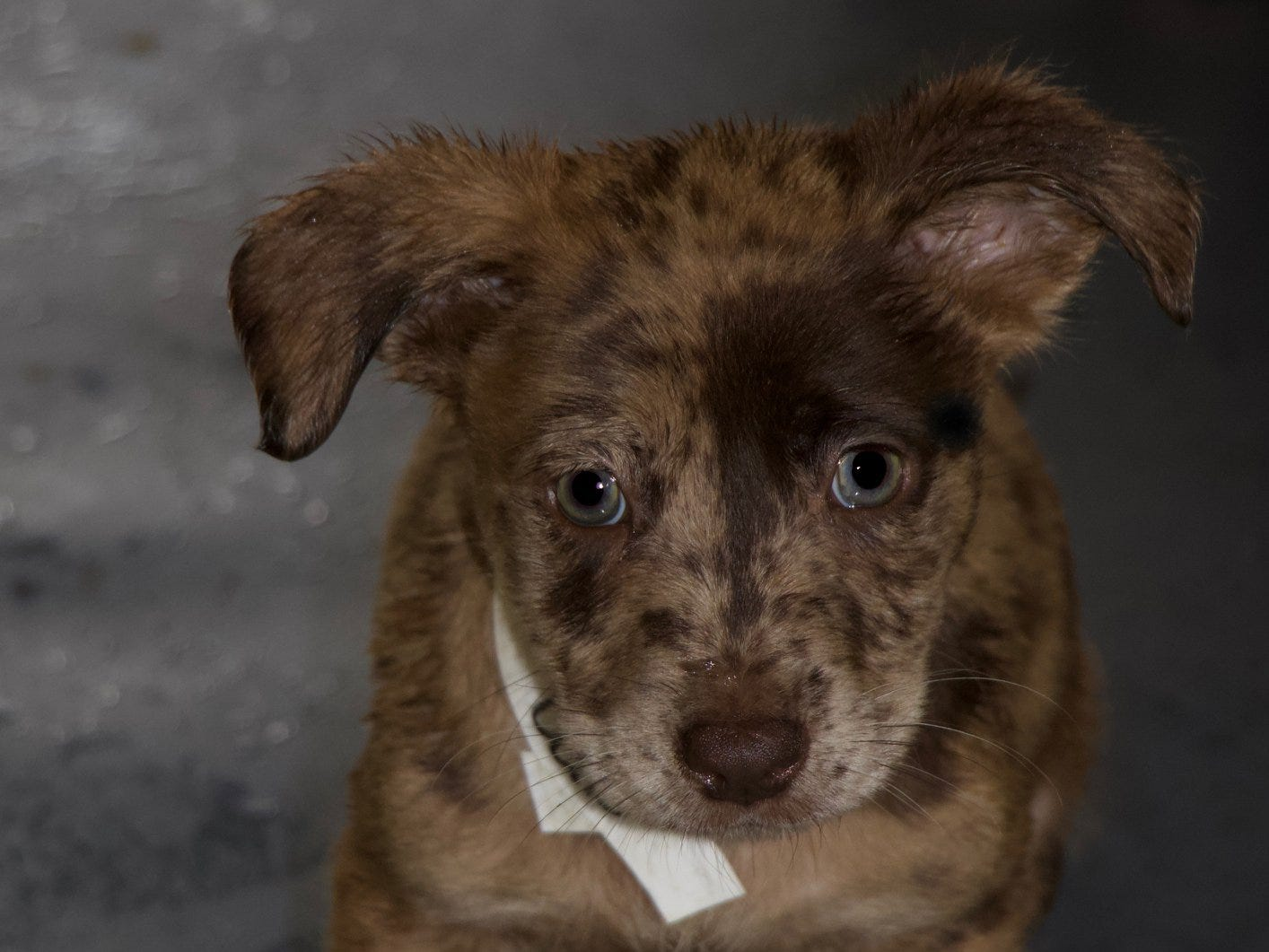 This puppy will be available at the Brandywine Valley SPCA's 2018 Mega Adoption Event at the Delaware State Fairgrounds in Harrington this weekend.