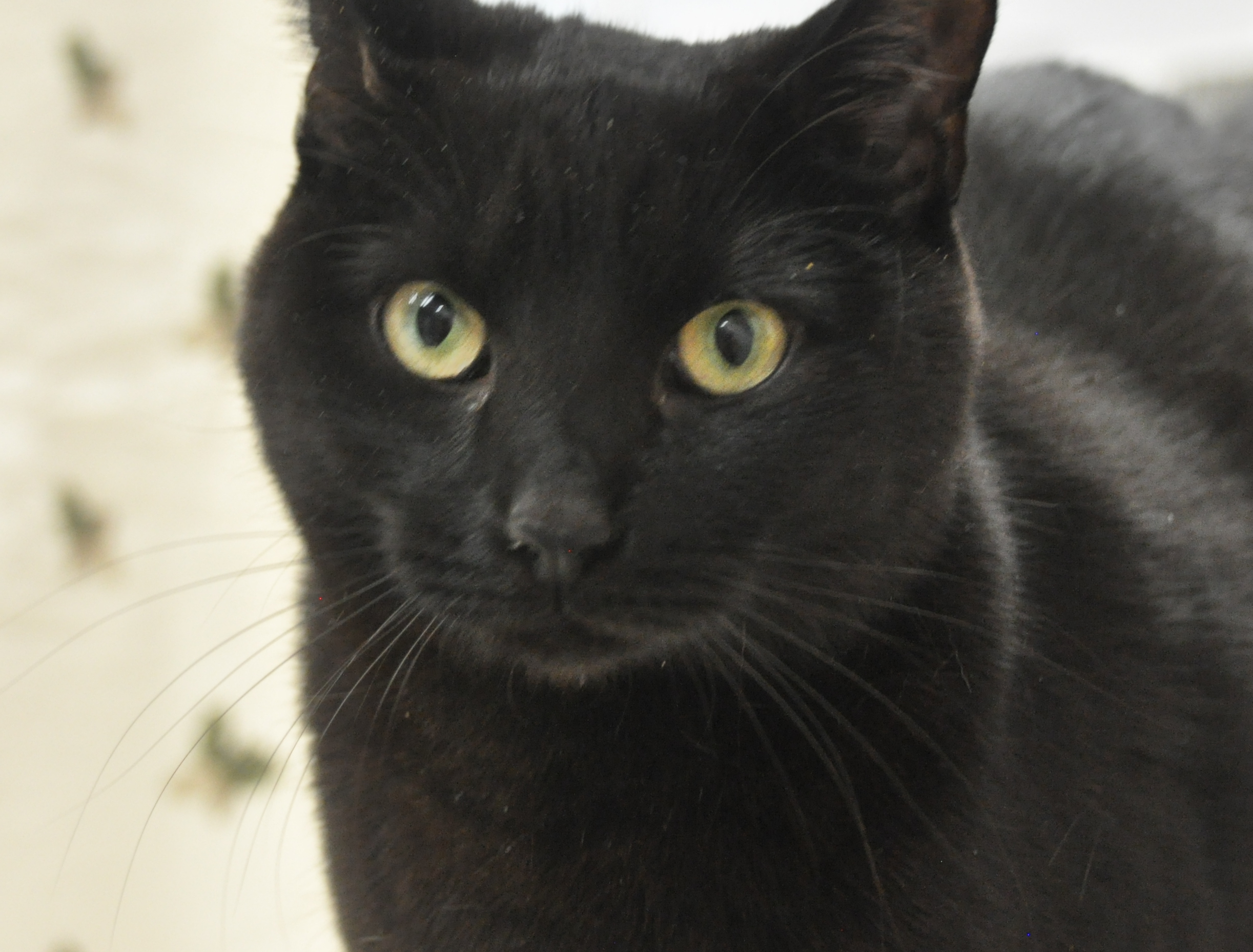 This cat will be available for adoption at the Brandywine Valley SPCA's Mega Adoption Event at the Delaware State Fairgrounds in Harrington on Dec. 8 and 9, 2018.