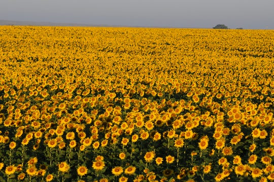 Kansas farmers are increasingly interested in growing winter canola  and other crops as an alternative to more traditional crops such as wheat and corn.