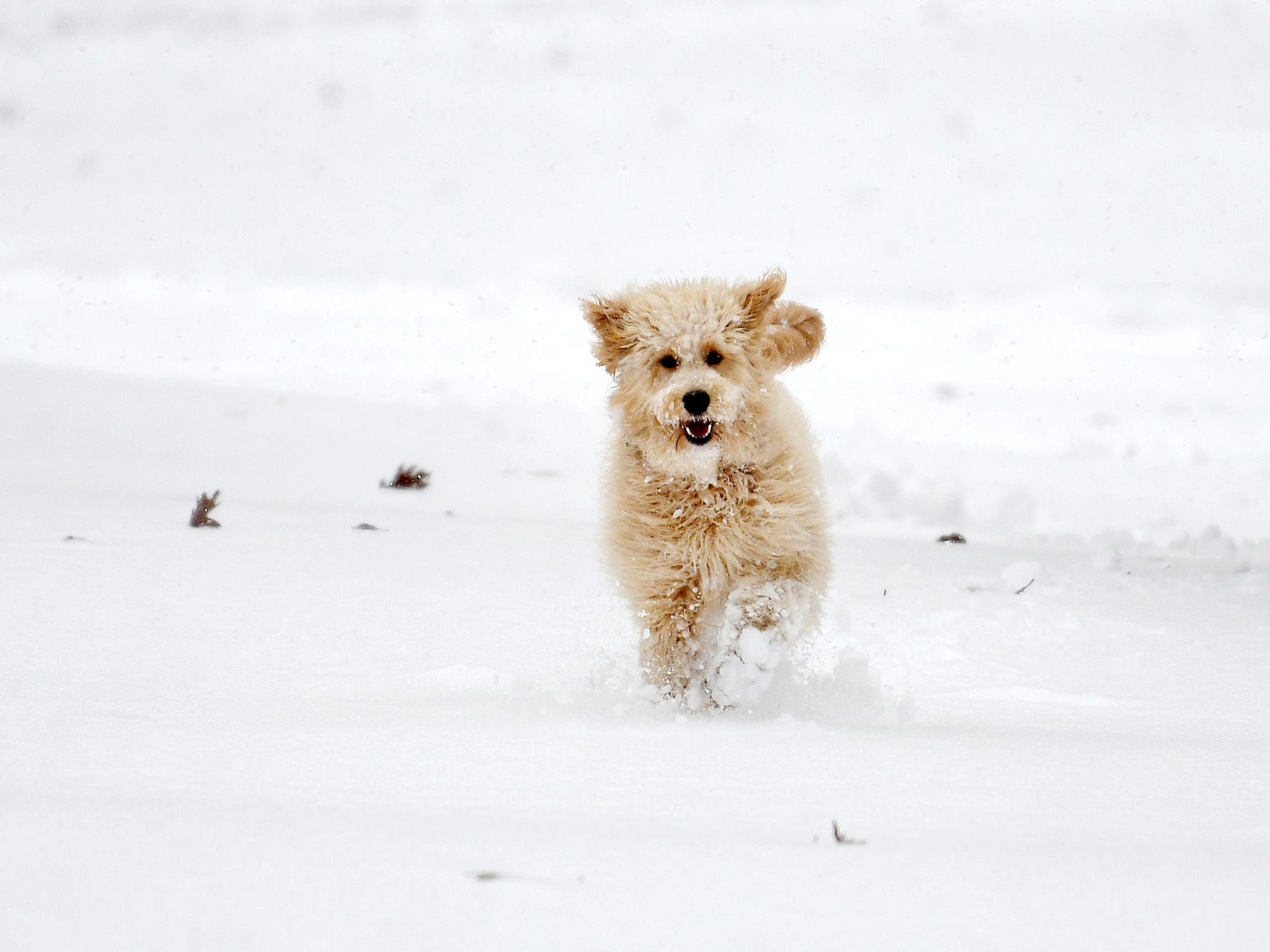 Layla, a Goldendoodle, plays in the snow while on a walk with her owner on campus.