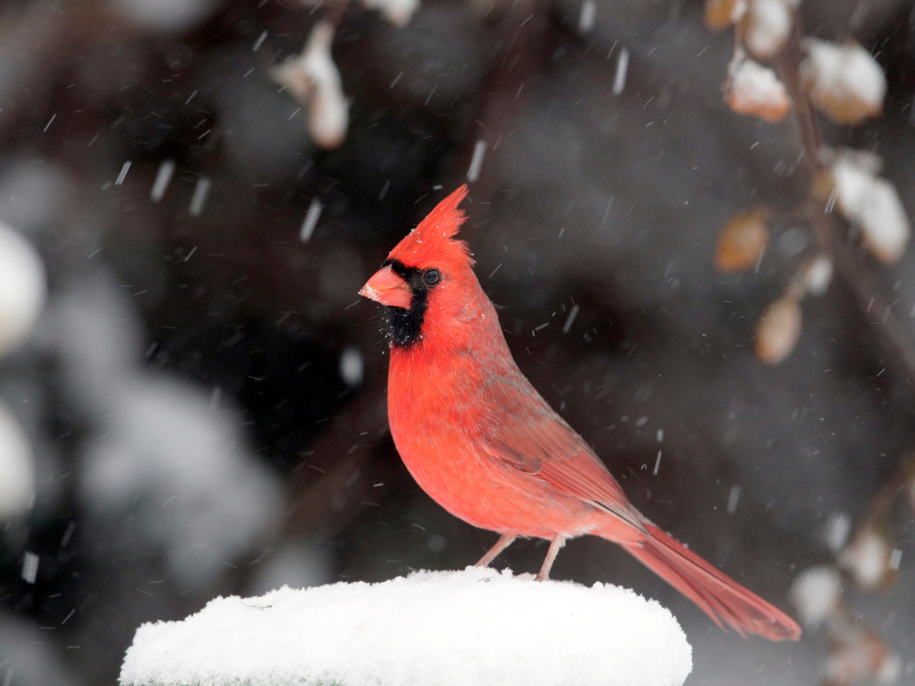 A cardinal stands on a snow-covered perch in Lawrence, Kan., Nov. 25, 2018.