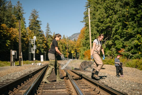 Biologists for the Tulalip Tribe carry a beaver on its way for reintroduction on a stretch of impacted river in northern Washington.