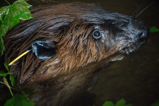A beaver with colored ear tags hangs out at the Tulalip Tribes fish hatchery. Ear tags help to identify individual beaver.