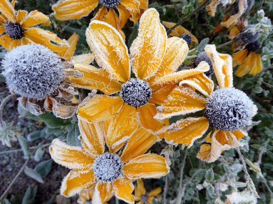 The morning frost clings to flowers in Manette on Friday, December 7, 2018.