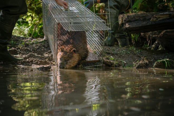 "A beaver is released onto a stretch of river in northern Washington that has been prepped for its arrival. Biologists relocate ""nuisance"" beavers from urban areas into impacted stretches of river that have been equipped with manmade starter homes. Biologists hope the beaver will continue to build on the dams and lodges, using their beaver ways to restore impaired rivers."