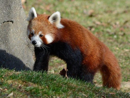 Red Panda 4 Roy Lewis