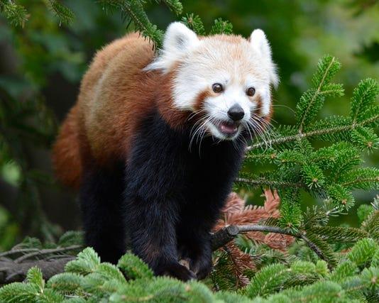 Red Panda 1 Roy Lewis