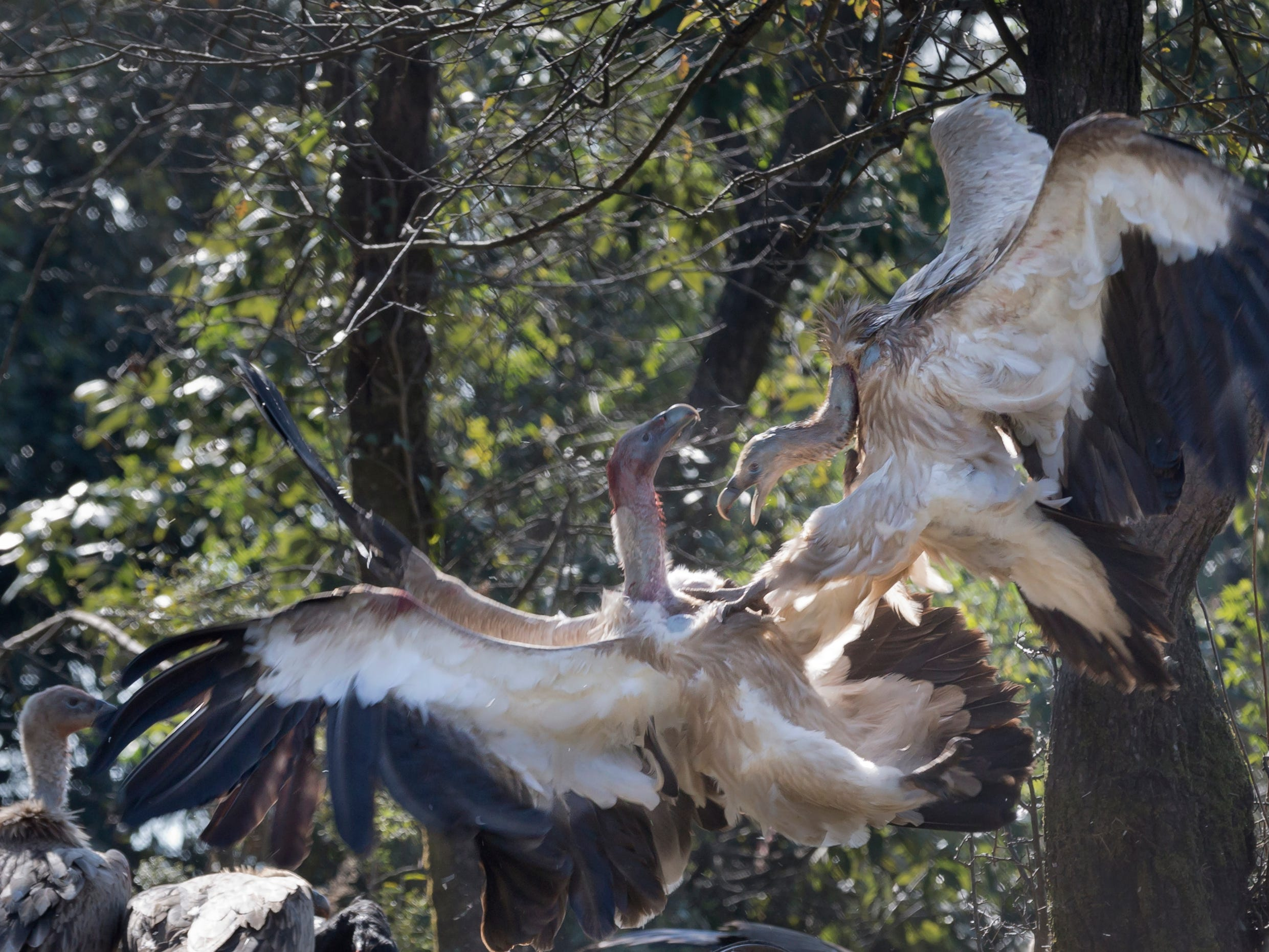 Himalayan griffon vultures spar over a carcass in Dharmsala, India, Friday, Dec. 7, 2018. These griffons have been listed as near threatened species, according to International Union for Conservation of Nature.