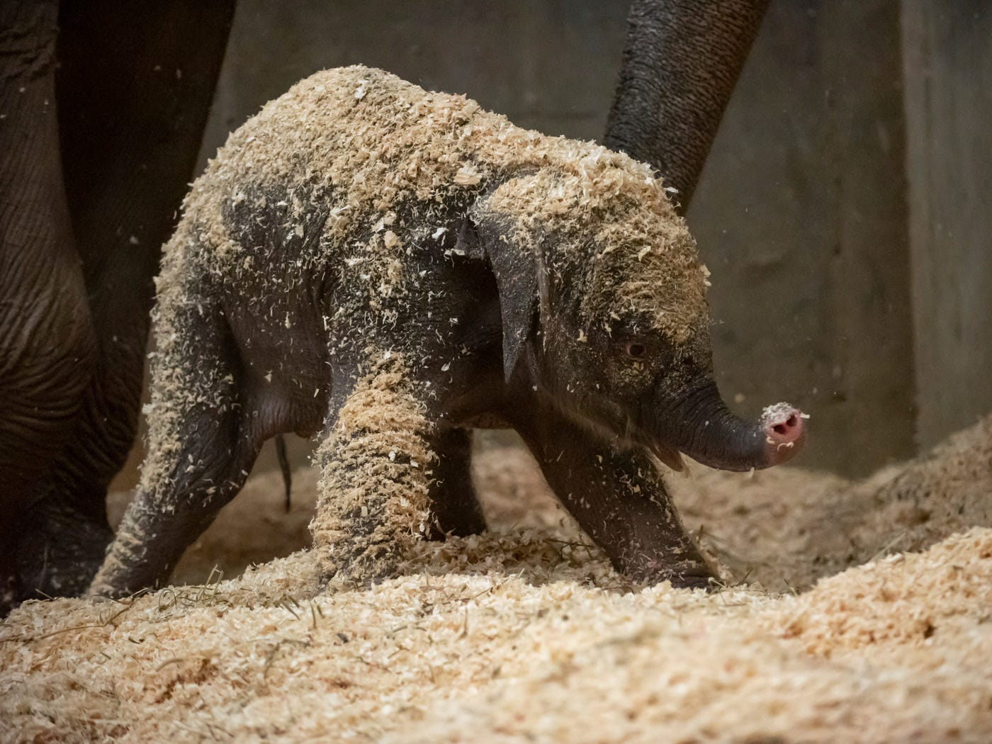 This photo, provided by Columbus Zoo and Aquarium, shows an Asian elephant, born Thursday, Dec. 6, 2018 in Powell, Ohio. Its sex has not yet been determined because the Columbus Zoo is giving it time to bond with its mother, Phoebe. It is the first elephant born at the zoo in almost 10 years and joins a herd of six at the zoo.