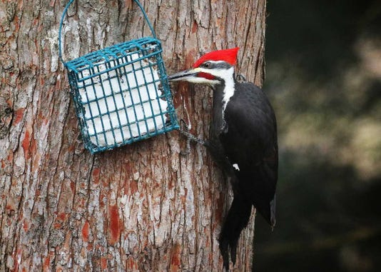 A male pileated woodpecker regularly visits a pure suet cake.