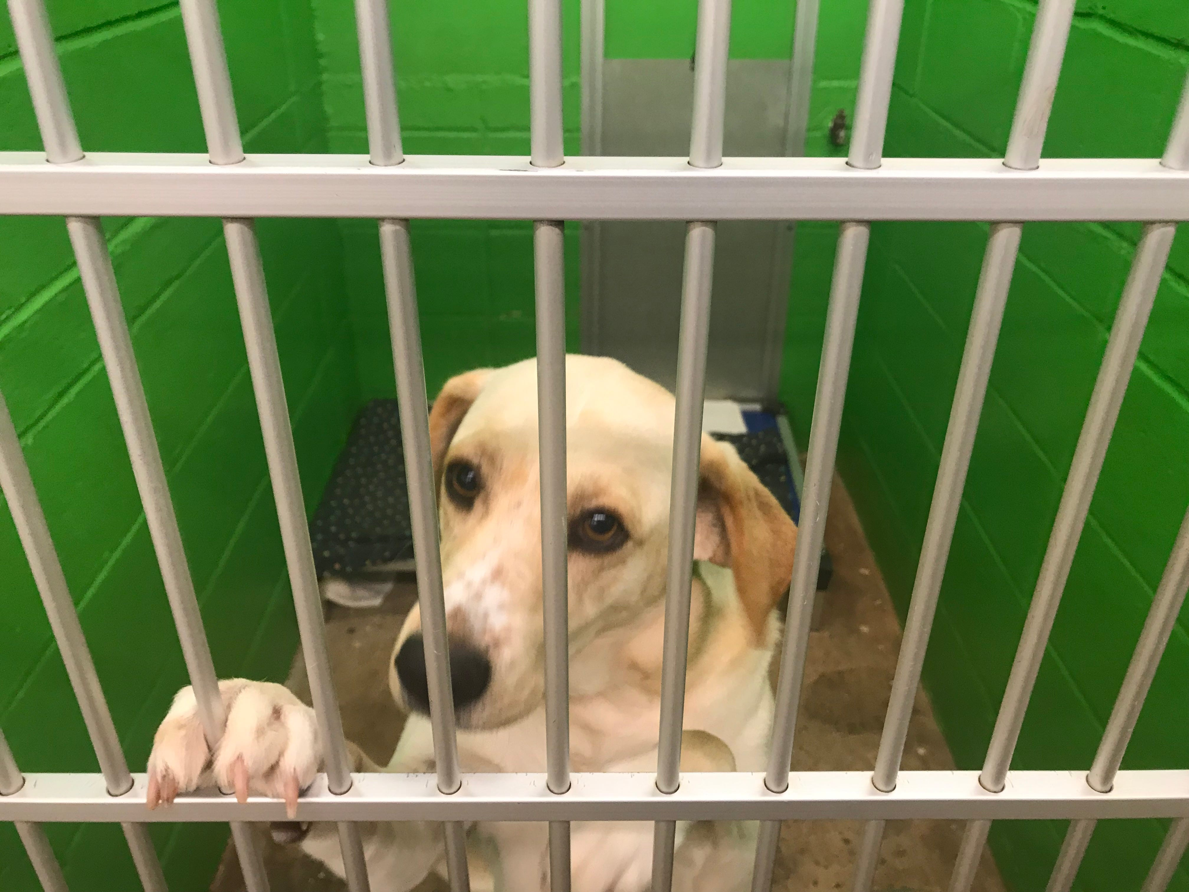 Marley, a female lab mix, is available for adoption with the fee already paid by columnist Ron Barnett.