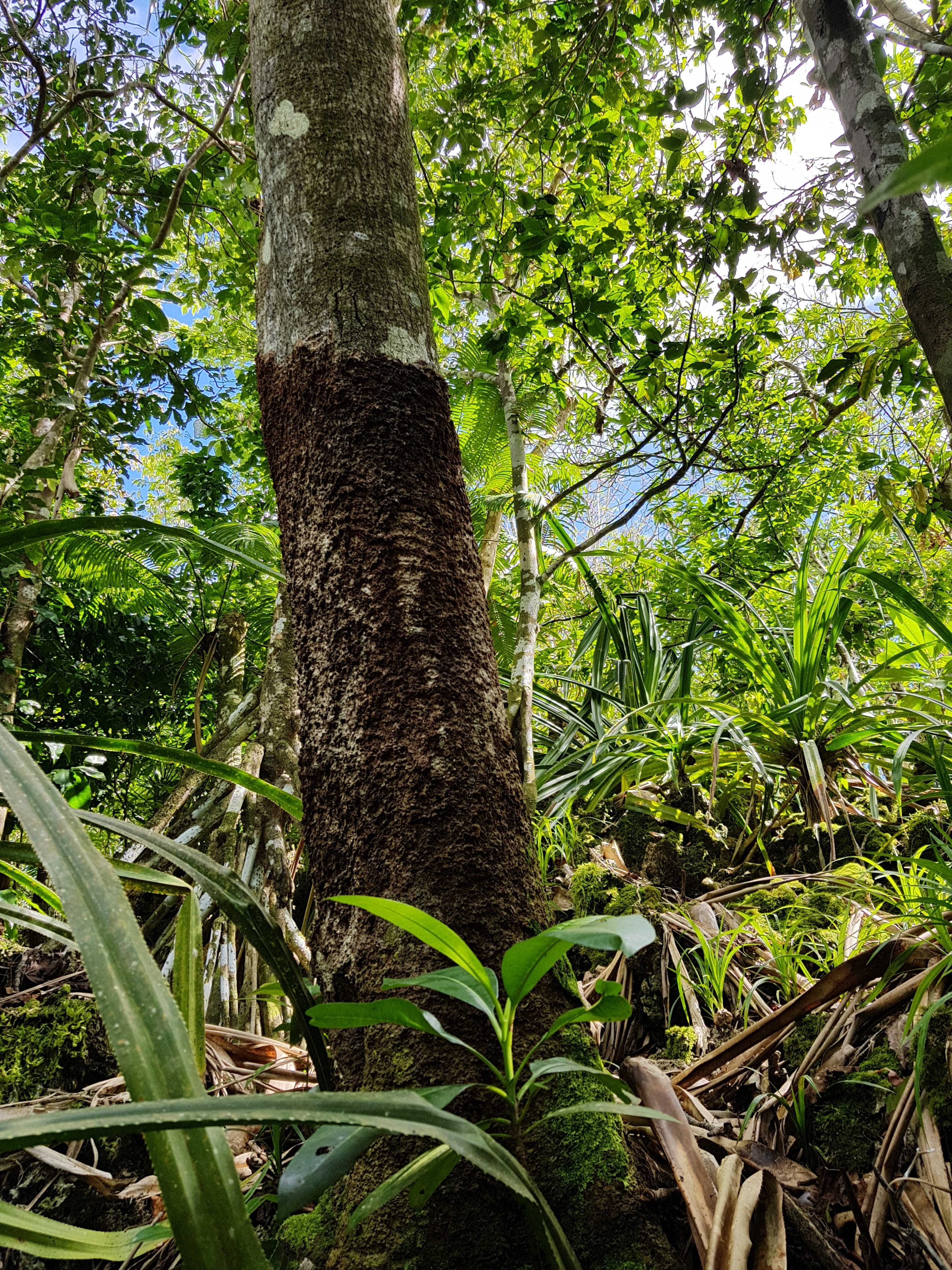 Brown root rot observed on trees in the Marianas.
