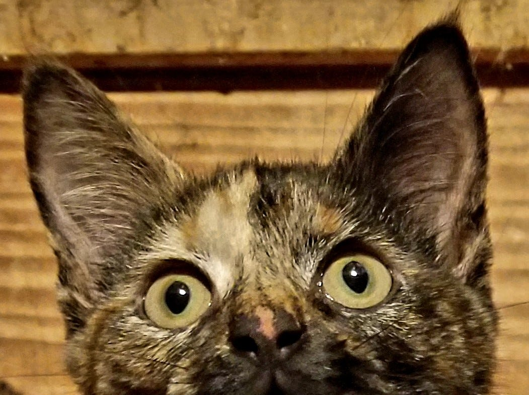 Miss M is a sweet 4-month-old torti girl who is a talker! She is spayed, vaccinated, tested for FIV & FeLV, microchipped. Come see her and lots of other kittens at our adoption fair on Saturdays from noon til 6 at West Town PetSmart. www.feralfelinefriends.org