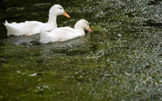 Ducks feed in algae coating the surface of Fountain City Lake in Knoxville on May 15, 2014.