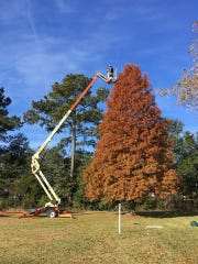 Brad Broussard's cypress tree grew to 50'.