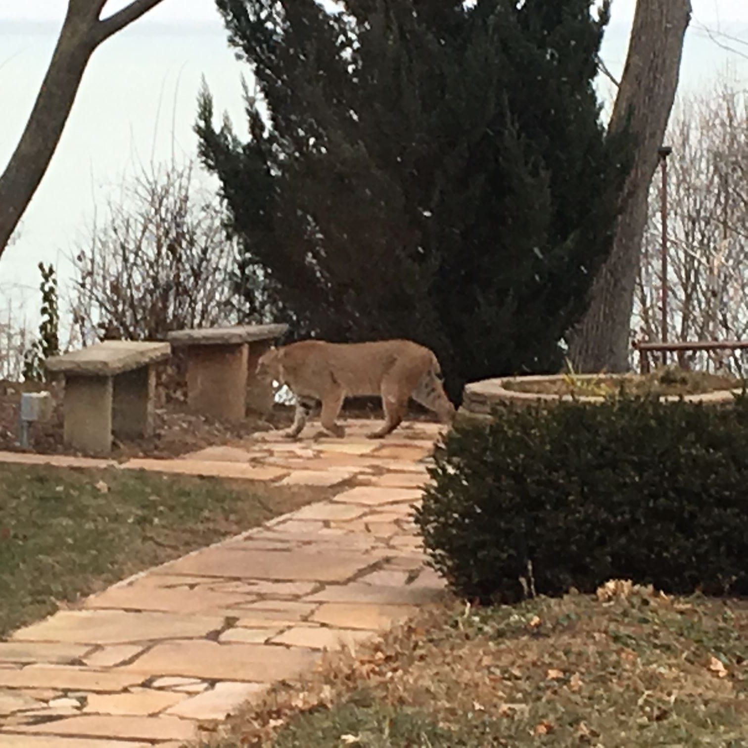 A bobcat was spotted in a Whitefish Bay backyard, DNR confirms