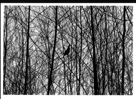 A ruffed grouse sits in a tree in northern Wisconsin in this photo taken in December, 2001 by Bob Riepenhoff, then outdoors editor for the Milwaukee Journal Sentinel.