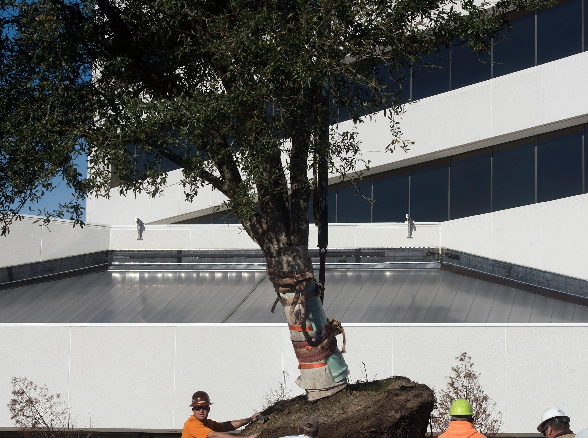 Photos: 20-year-old live oak finds new home downtown