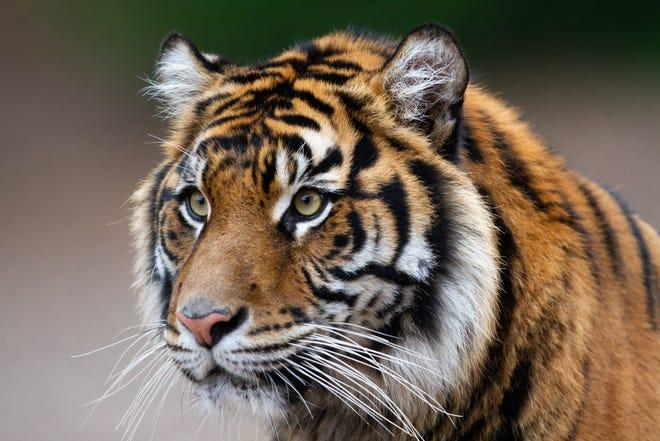 The Phoenix Zoo's new Sumatran tiger, Dari, is pictured in Phoenix on Dec. 6, 2018.