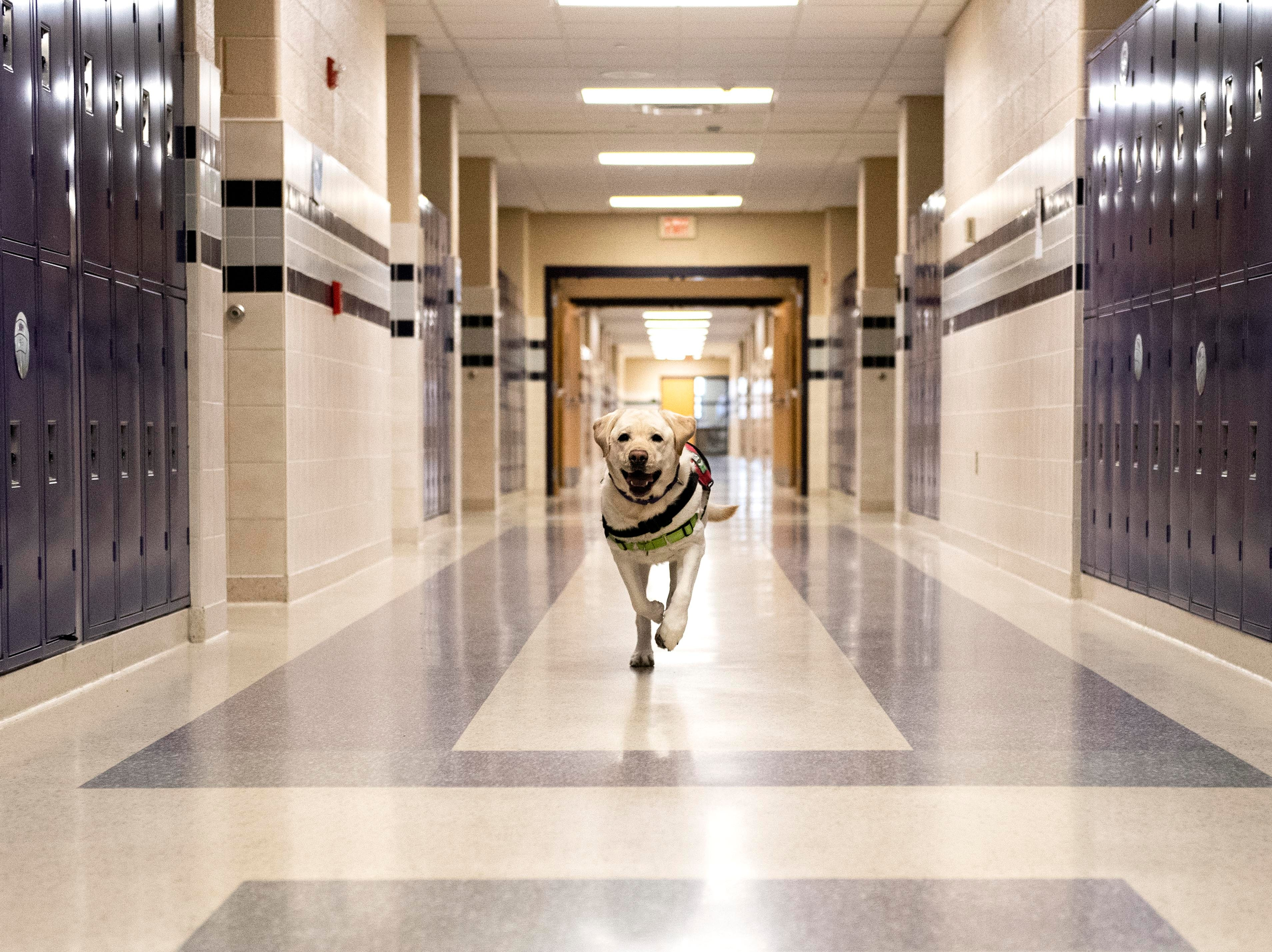 Murray runs up the hallway at Northern York High School for a photo on Wednesday, Nov. 14, 2018. Murray is one of seven service dogs throughout Northern York School District. The dogs can do everything from helping students calm down to closing doors.