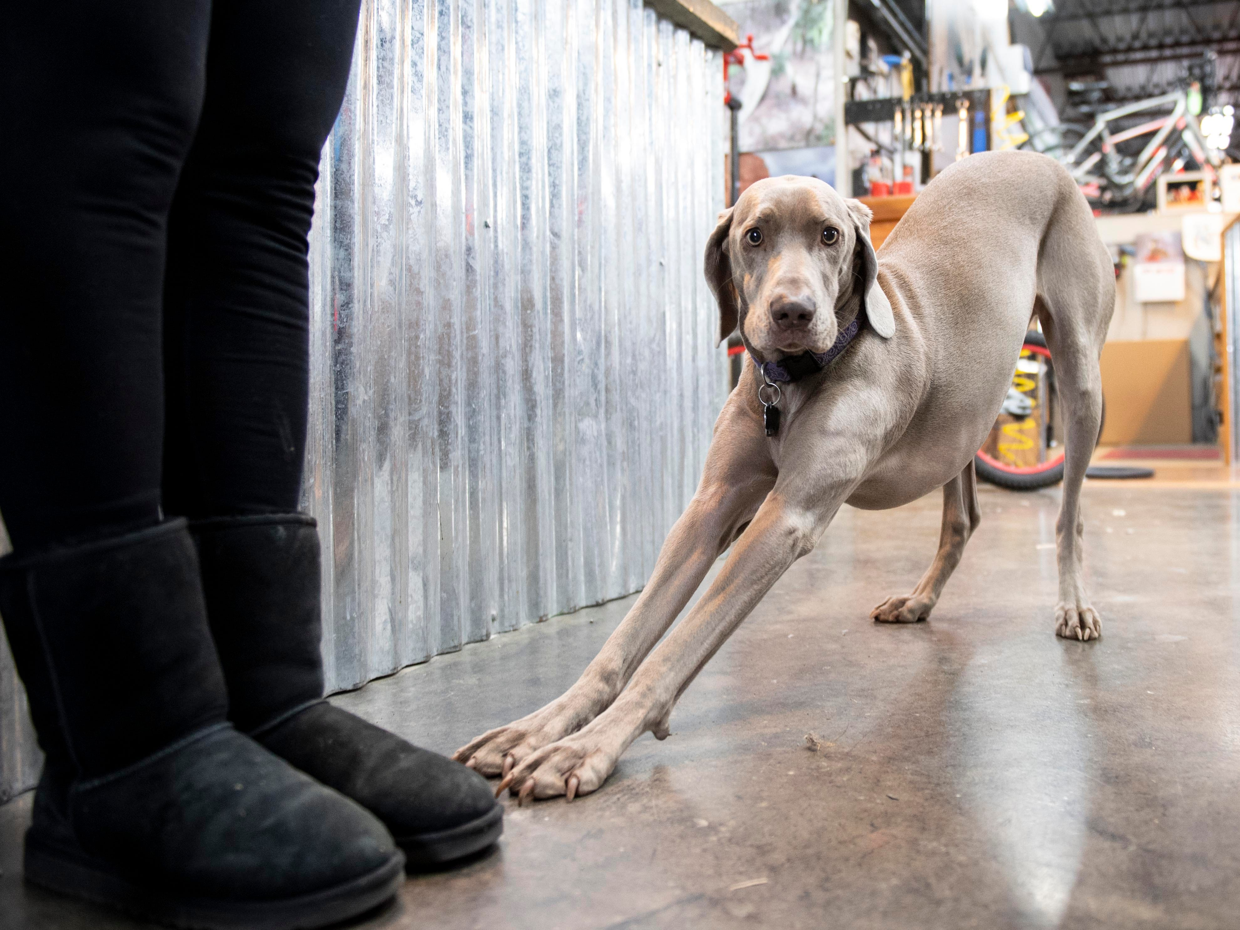 Trail, a 2-year old Weimaraner, usually hanging around Gung Ho Bikes, stretches while her owner, Penny Zech, recalls her first bike on Friday, Dec. 7, 2018. Penny Zech, the owner of Gung Ho Bikes, along with her husband and manager, Jay Zech, fixed up and donated nearly 150 bikes to local charities. This was the fifth year they did the event.