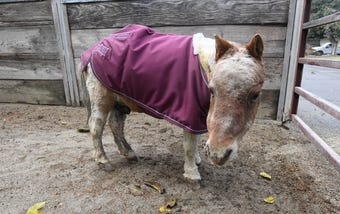 Jim Hart of Concow, Calif., introduces Prince Charming, a mini horse who survived the Camp Fire.