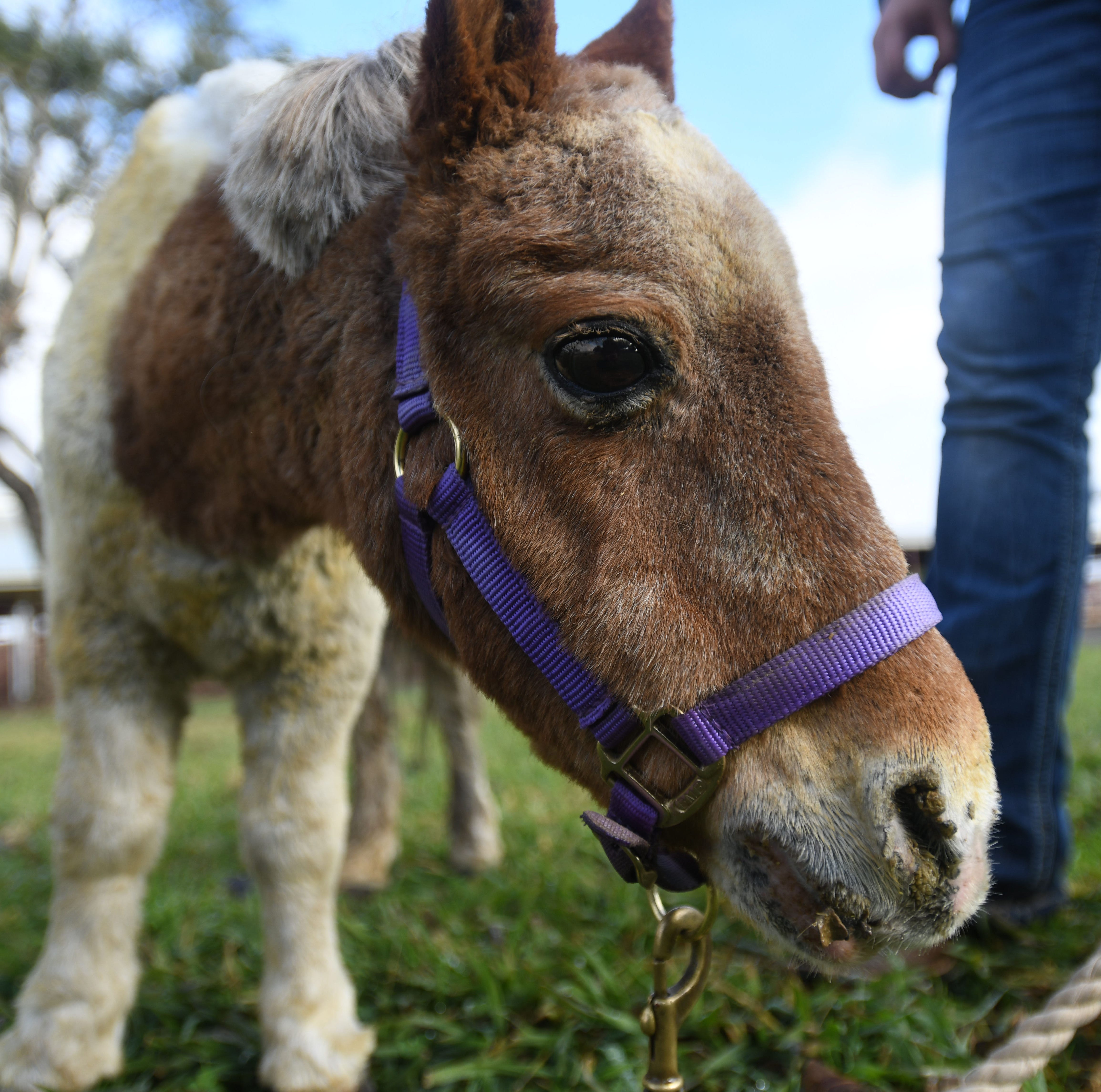 His home and pasture were destroyed, but this mini-horse survived California's Camp Fire