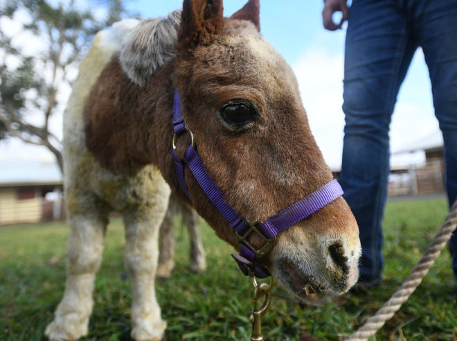 Prince Charming, a mini-horse from Concow, Calif., injured in the Camp Fire, is recovering under veterinary care at University of California, Davis.