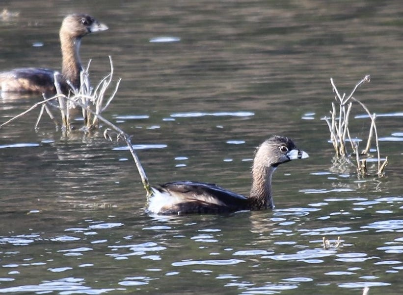Bring your binoculars to get a close look at the pied-billed grebe