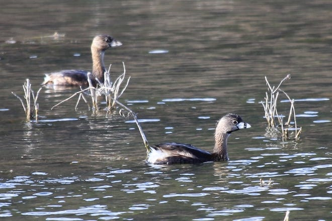 The pied-billed grebe's diet is made up of aquatic insects, crustaceans such as crayfish and small fish such as minnows.