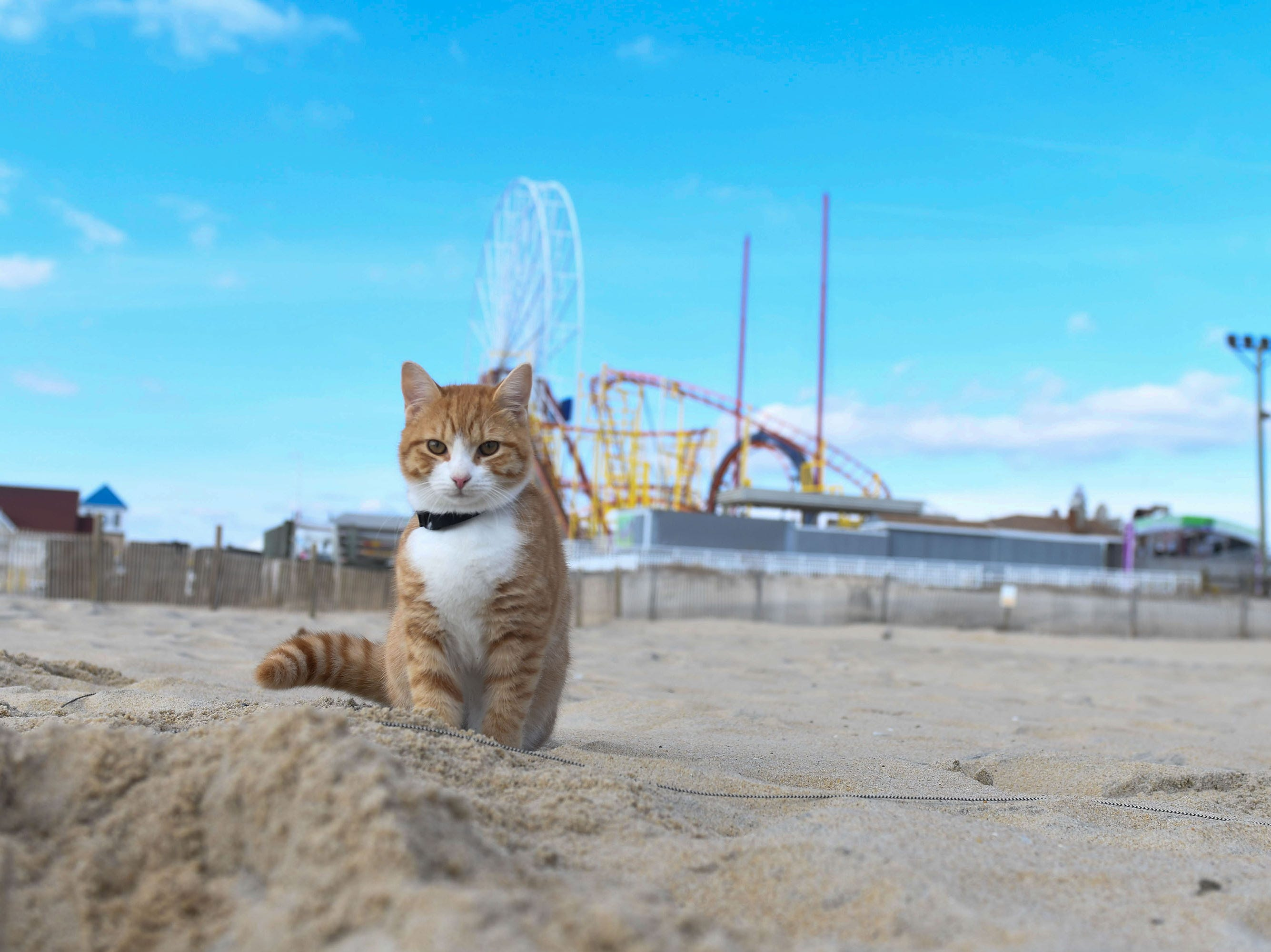 Pip the beach cat plays at the beach at the Ocean City Inlet on Thursday, Dec. 6, 2018.
