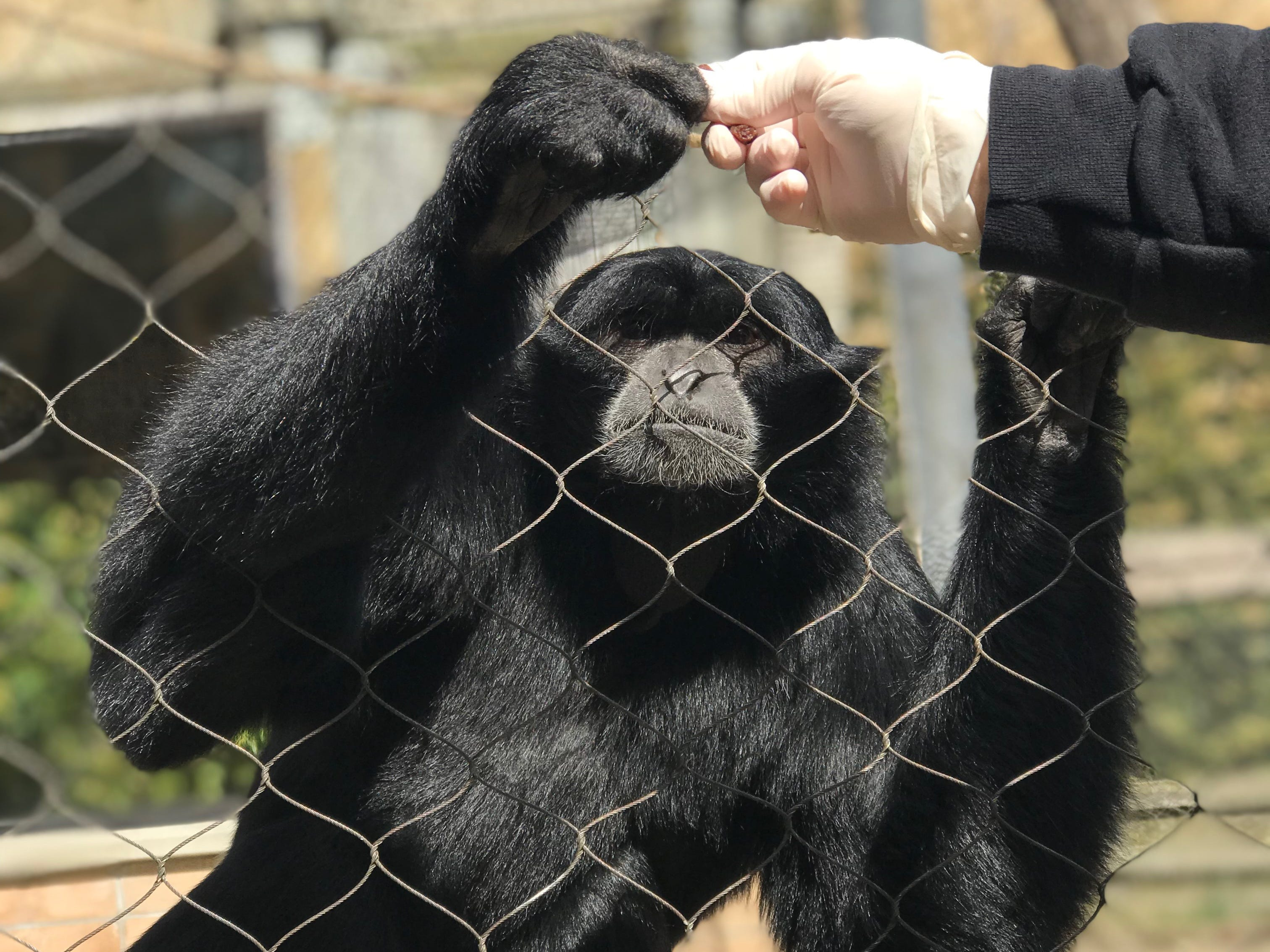 Ape, 'sweetest gibbon,' dies Friday at Dickerson Park Zoo