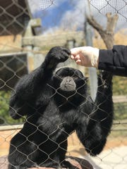 Lucu, a 12-year-old siamang , died Dec. 7 at Dickerson Park Zoo due to an acute bacterial infection.