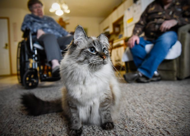 Ridgeview Place Senior Living in Sauk Rapids allows cats to stay with some residents, including Lena here in this Dec. 5 file photo.