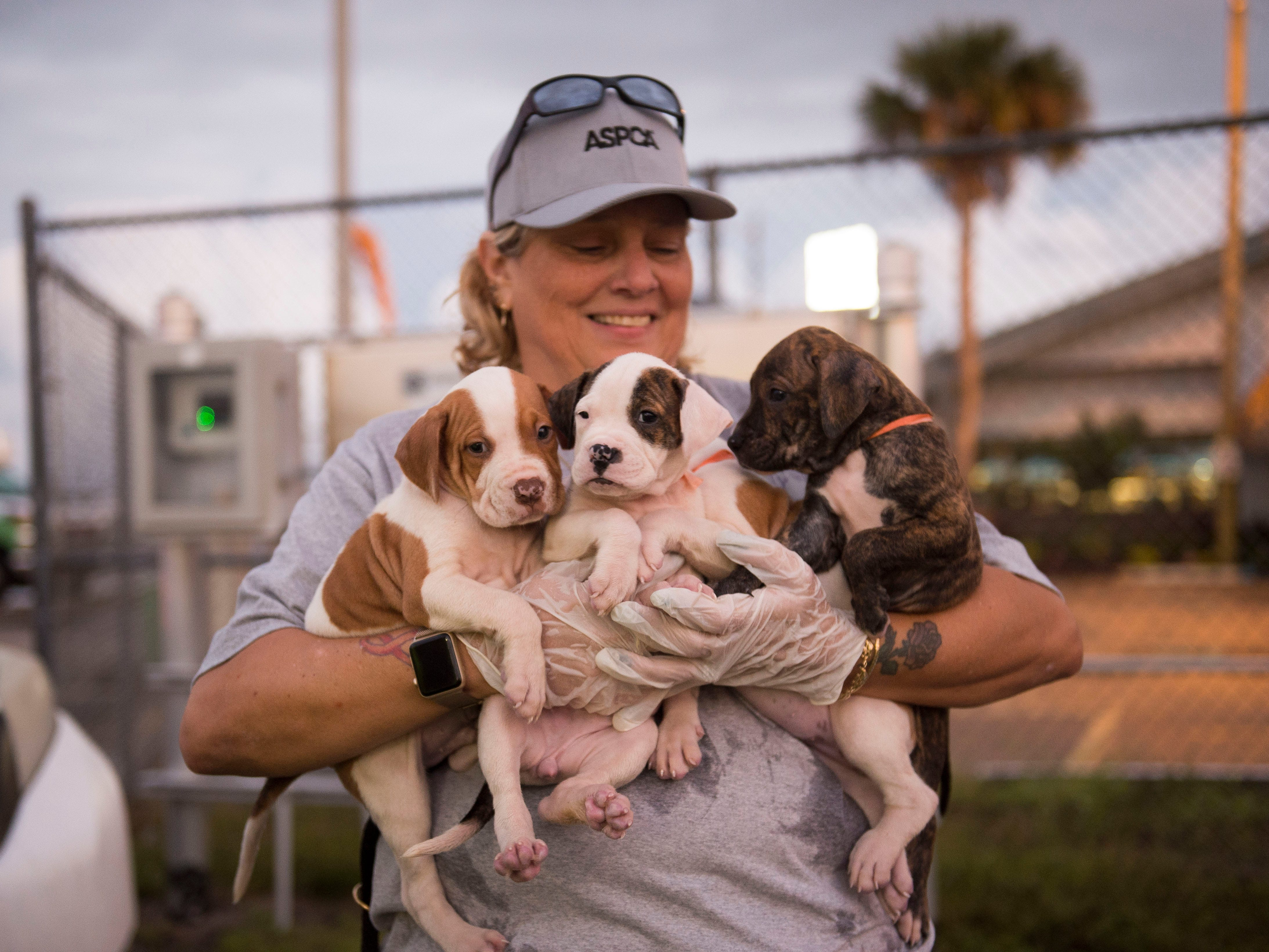 """Kelly Koch, a volunteer from Vero Beach, comforts four mixed breed puppies as about 200 dogs and cats displaced from hurricanes Irma and Maria were delivered from the Caribbean islands St. John, St. Thomas, Tortola and Puerto Rico on Jan. 10, 2018, to the Treasure Coast International Airport in Fort Pierce. Big Dog Ranch Rescue, based in Palm Beach County, facilitated the trip, their eleventh since the storms. """"We're just doing everything we can to get them to safety,"""" said ranch president Lauree Simmons. """"They were literally living on streets,"""" Simmons said. About 100 animals were distributed to Florida organizations Big Dog Ranch Rescue, Pet Alliance of Greater Orlando and Ravenwood Farm Foundation and Sanctuary near Jacksonville, while the rest were sent to other rescues across the country."""