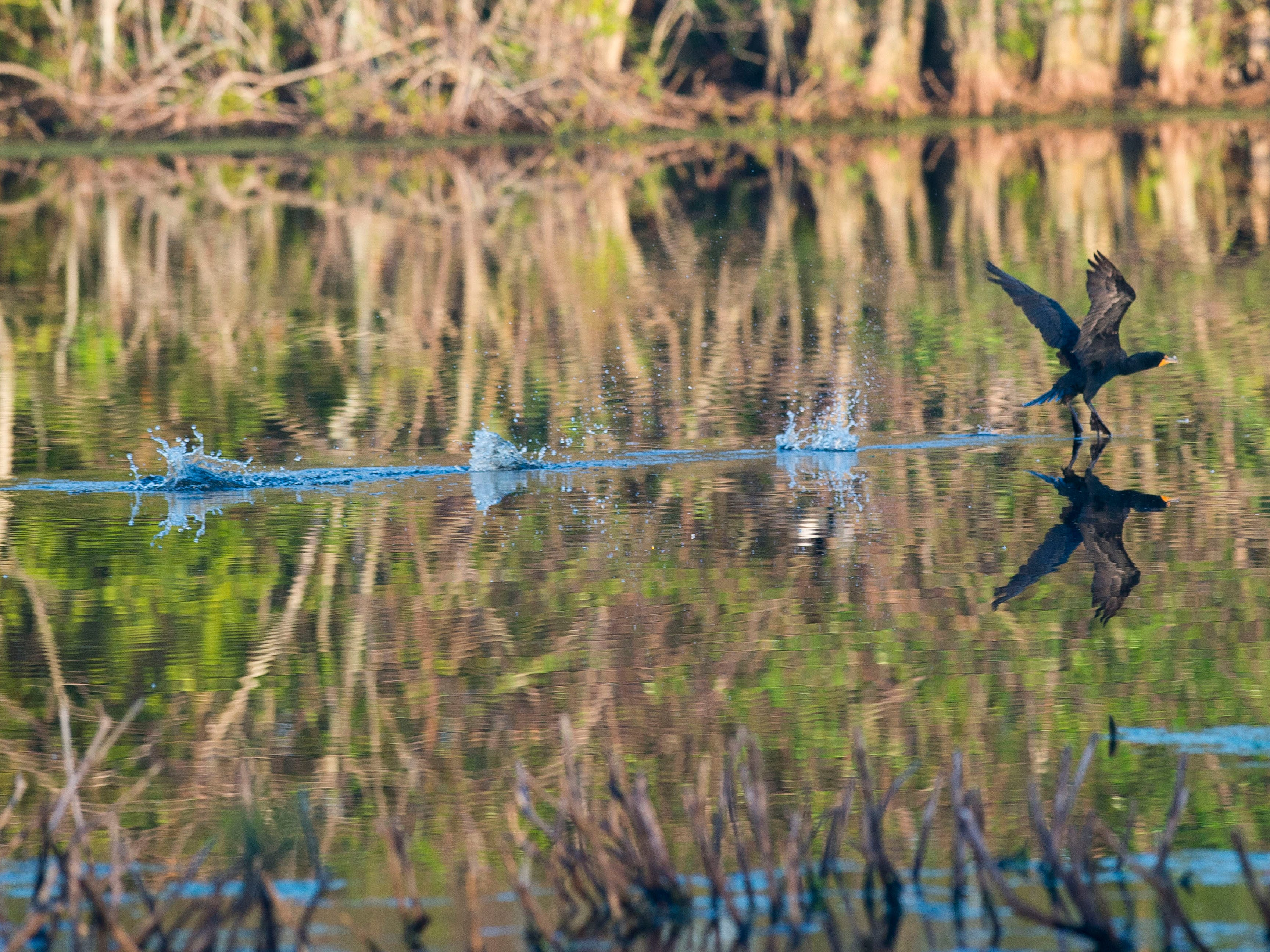"""A cormorant skids across the water Feb. 28, 2018 in one of the natural wetlands at Harbour Ridge Yacht & Country Club north of Palm City in St. Lucie County. Despite the wetlands beings surrounded by homes, several species of birds make the space their home. """"Harbour Ridge is a great example of coexisting with the environment,"""" said Tim Cann, director of greens and ground maintenance."""