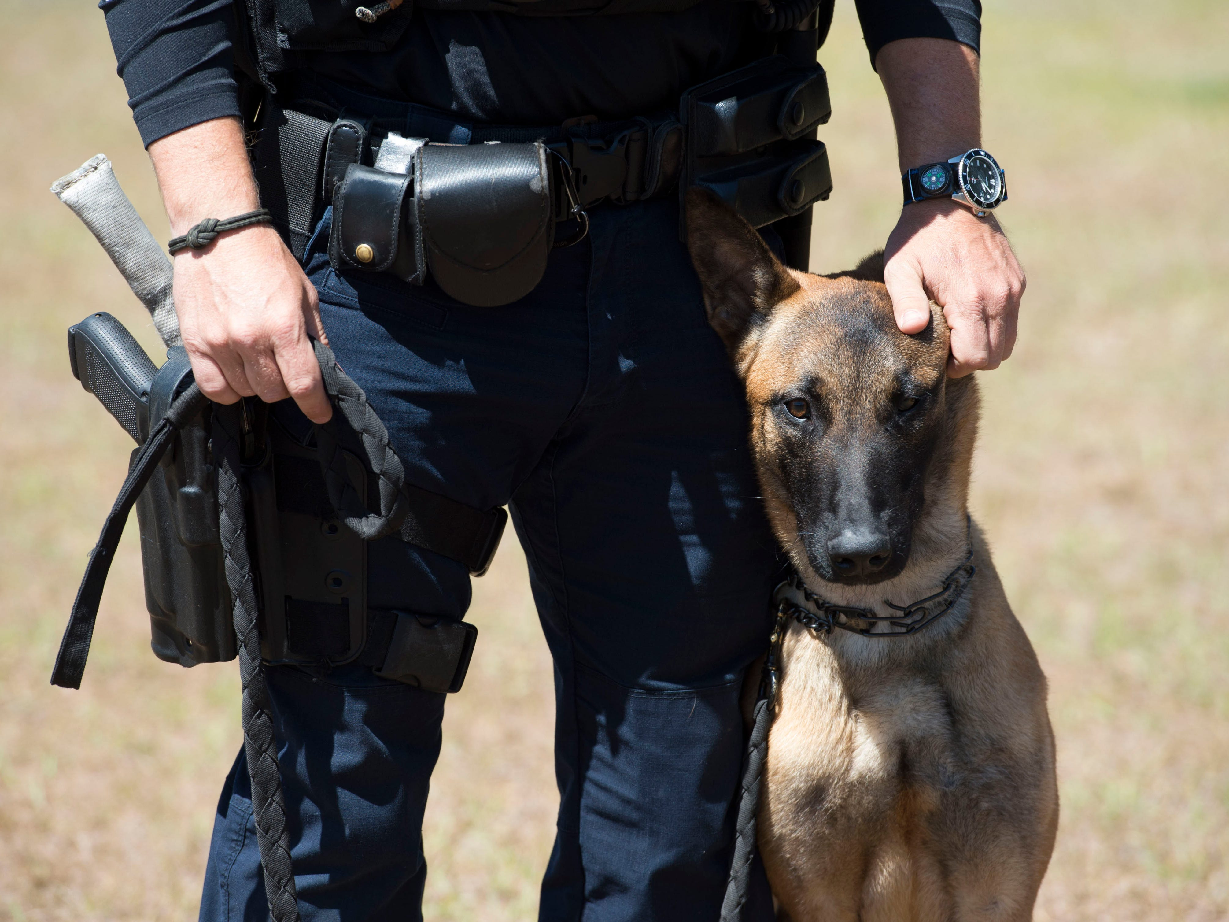"""Port St. Lucie Police Officer Will Harris introduced his new partner, K-9 Bodhi, a 1-year-old Belgian Malinois, on March 21, 2018 at Port St. Lucie Police Department K-9 training site at McCarty Ranch Preserve in Port St. Lucie. Harris, who was celebrating his 15th anniversary with the police department, applauded Bodhi's progress since he began training in January. """"He's got a lot more on his shoulders,"""" Harris said about Bodhi being a patrol and explosives detection K-9. """"He's been a tenacious worker so far. He's definitely suited for the job."""" Bodhi replaced Harris' former K-9 partner, Oliver, who retired in January after years of service. Harris hoped Bodhi would finish training in May and then be certified through the National Police Canine Association. """"He's been a very busy boy. At the end of each training day he gets home and passes out on the floor."""""""