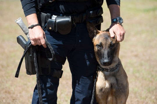 "Port St. Lucie Police Officer Will Harris introduced his new partner, K-9 Bodhi, a 1-year-old Belgian Malinois, on March 21, 2018 at Port St. Lucie Police Department K-9 training site at McCarty Ranch Preserve in Port St. Lucie. Harris, who was celebrating his 15th anniversary with the police department, applauded Bodhi's progress since he began training in January. ""He's got a lot more on his shoulders,"" Harris said about Bodhi being a patrol and explosives detection K-9. ""He's been a tenacious worker so far. He's definitely suited for the job."" Bodhi replaced Harris' former K-9 partner, Oliver, who retired in January after years of service. Harris hoped Bodhi would finish training in May and then be certified through the National Police Canine Association. ""He's been a very busy boy. At the end of each training day he gets home and passes out on the floor."""