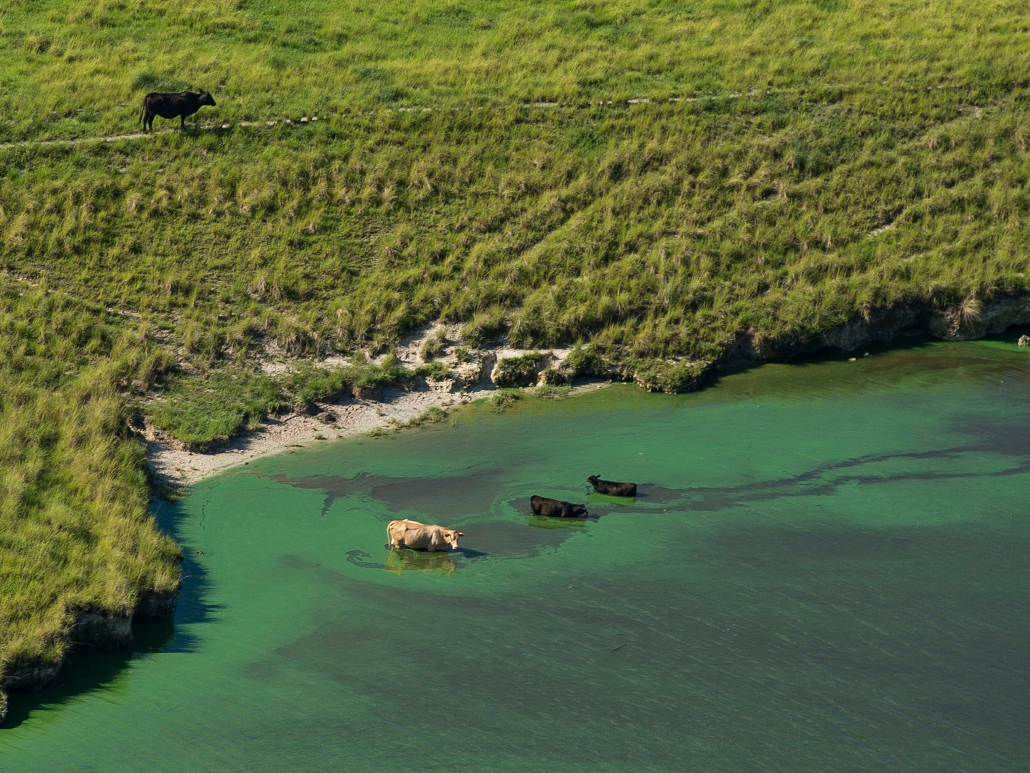 Cattle wades in the algae-covered C-44 Canal on July 5, 2018, in Martin County. Based on satellite images, researchers with NOAA estimate that 90 percent of the 730-square-mile freshwater Lake Okeechobee is covered in algae, proven to be toxic with microcystin through tests conducted by the Florida Department of Environmental Protection. From June 1 to July 5, 2018, about 25 billion gallons of Lake Okeechobee water had been discharged from the gates at the St. Lucie Lock and Dam into the St. Lucie River, concerning residents and damaging local businesses.