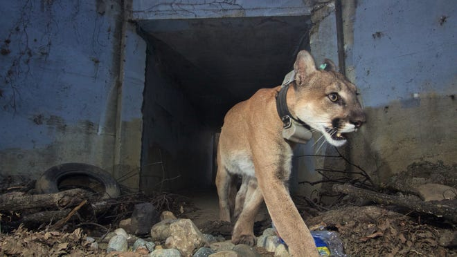 P-64 was captured on camera heading out of a tunnel. The local male mountain lion gained notoriety for crossing Highways 101 and 118 multiple times but was been found dead weeks after surviving the Woolsey Fire.