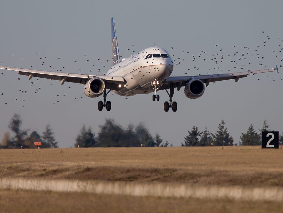 Birds flock nearby as a United Airlines Airbus A320 lands safely at Seattle-Tacoma International Airport in November 2018.