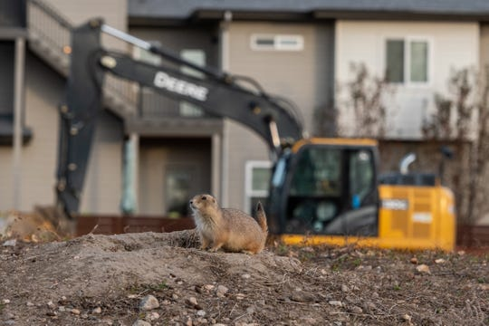 Development surrounds a prairie dog colony in Old Town North. About 200 animals have been moved to Cathy Fromme Prairie Natural Area.