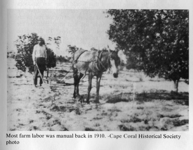 Early Cape Coral settlers had to clear land with a team of oxen, pulling or dynamiting out the stumps and digging ditches to drain the property.