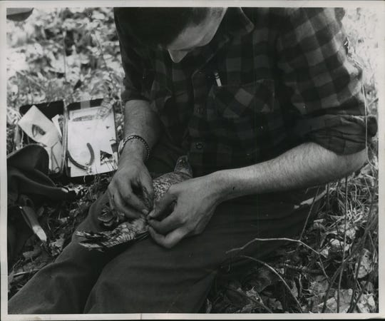 Robert Darney, biologist in charge of the ruffed grouse research program for the Wisconsin Conservation Department in 1955, bands a ruffed grouse as part of a study. The agency was the forerunner to the Wisconsin Department of Natural Resources.