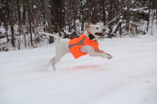 Bella, a 10-year-old English pointer owned by Jim Hayett of Hartland, runs through the snow before a ruffed grouse hunt near Fifield.
