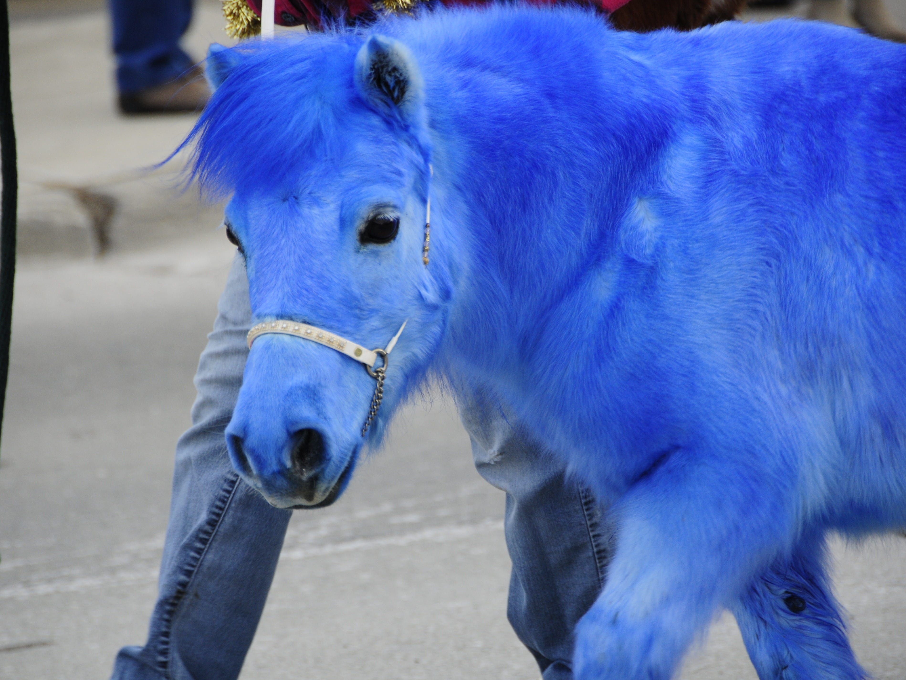 A miniature horse of a different color was at the Lexington Old-Fashioned Christmas Horse Parade on Saturday, Dec. 8, 2018.