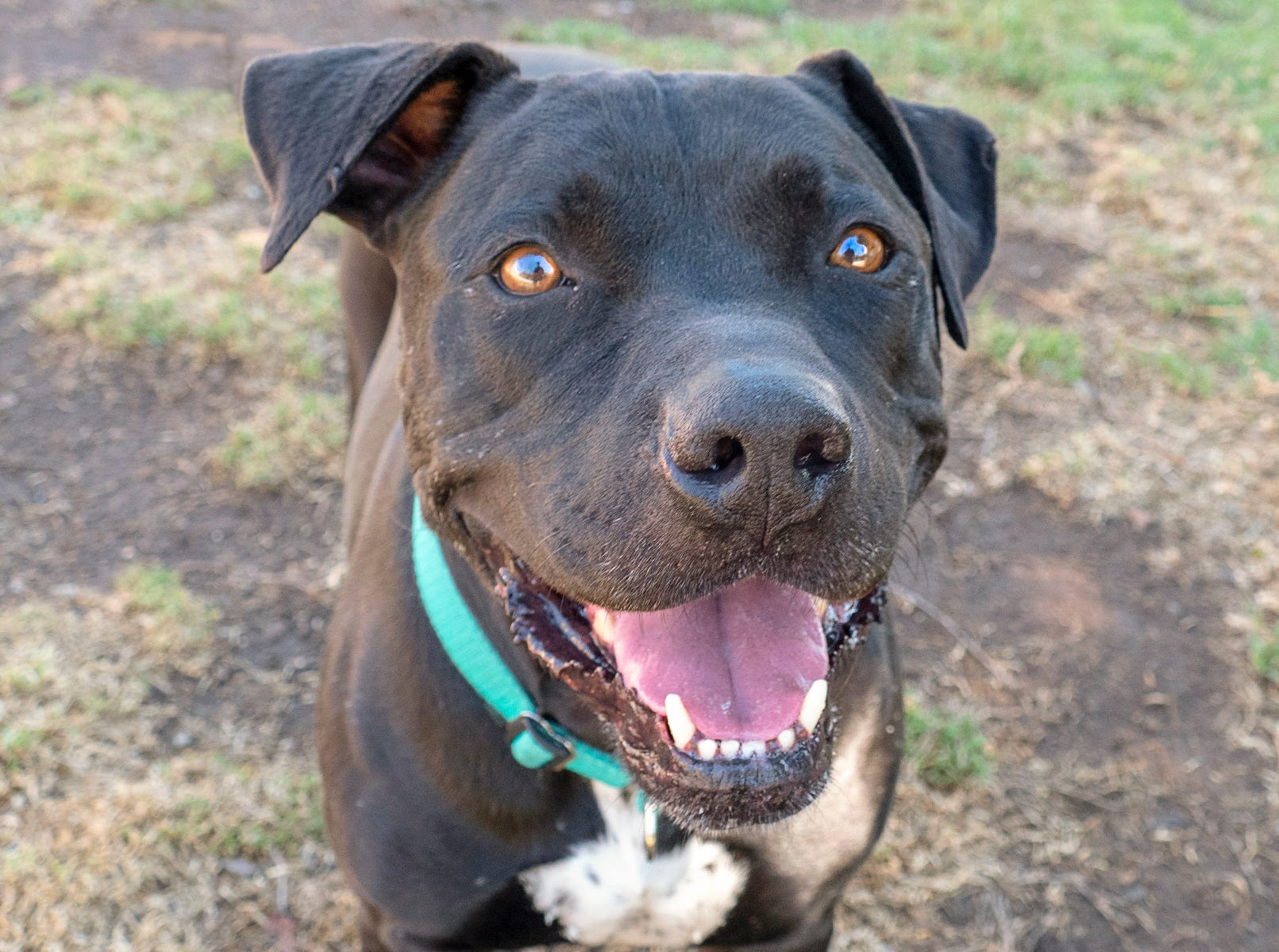 When Smokey interacts with people, he is awesome, sweet, loving and attentive and demonstrates good behavior with kids. He sits down for belly rubs and wants to give kisses.He is a really good couch potato companion, loves a stuffed Kong, and truly loves, loves humans.To adopt Smokey, request A5149826. The Agoura Hills Animal Care Center is at 29525 Agoura Road, Agoura Hills. Occasionally, pets have already been adopted. To check availability, call 818-991-0071 or visit animalcare.lacounty.gov.